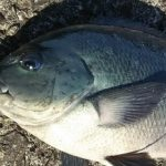 【初心者必読】磯釣りの人気者であるグレとはどんな魚なの?