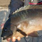 【初心者必見】グレの生態を知って磯釣りに役立てる