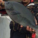 【寒グレシーズンがもうすぐ】冬のグレは動きが鈍い!大物釣りのチャンス!